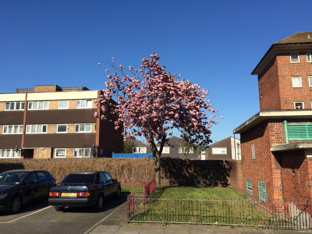Head still in Tokyo but back in the streets of south London where the streets are full of cherry blossom